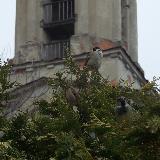 Воробьи на фоне башни церкви Косьмы и Дамиана