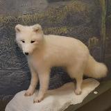 Чучело песца в краеведческом музее Челябинска