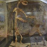 Скелет медведя в краеведческом музее Челябинска