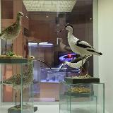 Чучкло птиц в краеведческом музее Челябинска