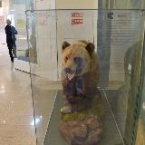 Чучело медведя в краеведческом музее Челябинска