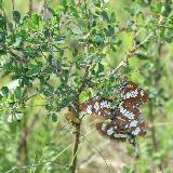 Любовный треугольник у бабочек Адмирал