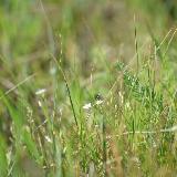 Маленькие белые цветочки в гуще зеленой травы