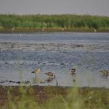 Большой веретенник кормится на берегу озера