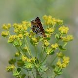 Бабочка Шашечница Феба собирающая нектар на цветке
