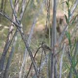 Лесной конёк в кустарнике у побережья Ори