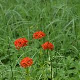 Неожиданный красный цветок
